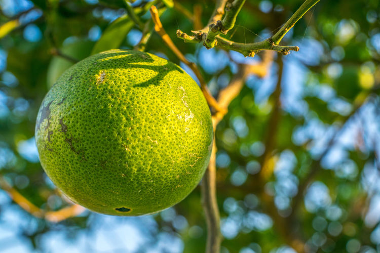 Low angle view of green fruit hanging on tree