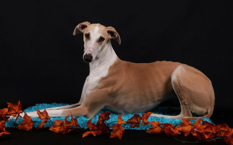 Portrait of dog by leaves relaxing on rug against black background