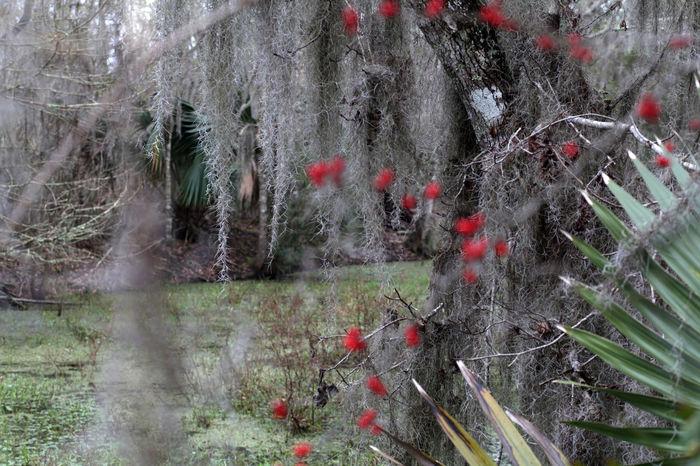 Bayou Growth Kudzu Louisiana Louisiana Swamp Nature Non-urban Scene S Spanish Moss Tranquility