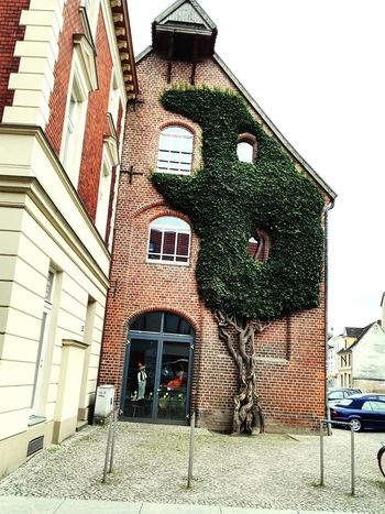 Tree Ivy Ivy Wall House No People Outdoors Leaf House Front White Windows Day Window Adapted To The City