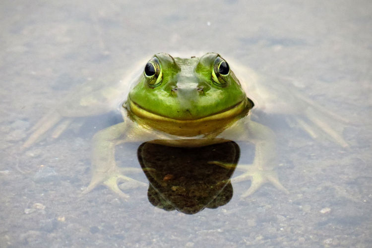 Close-up of portrait of green frog in water