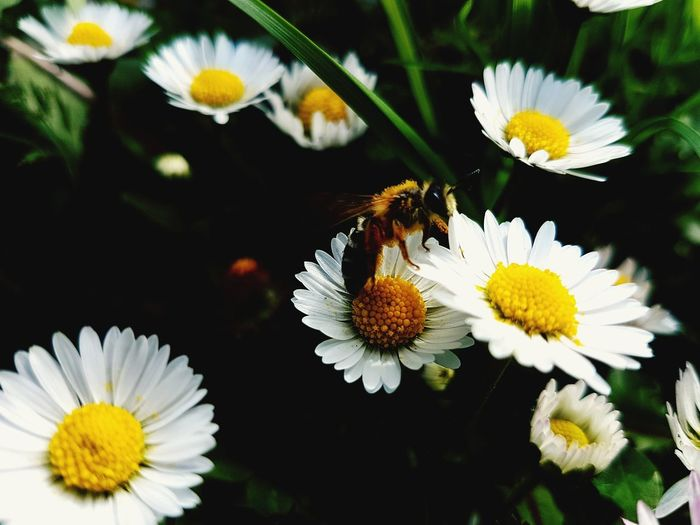 White White Flower Colorful Spring Green Bee Flower Head Flower Yellow Insect Petal Close-up Animal Themes Daisy Blooming In Bloom Honey Bee Stamen EyeEmNewHere Summer Exploratorium