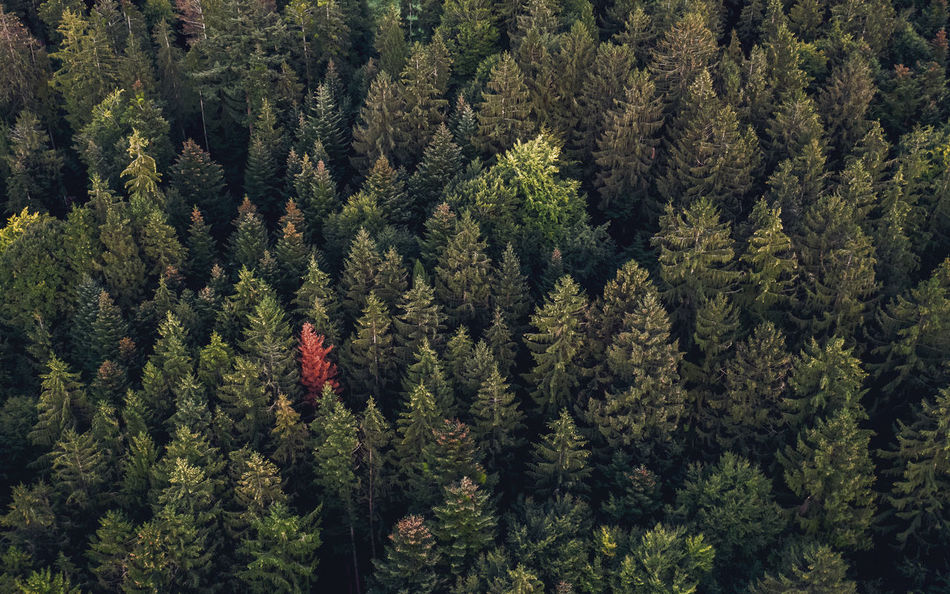 Autumn Divergent Coniferous Tree Evergreen Tree Fir Tree Forest Full Frame Green Color Growth Outdoors Pattern Pine Tree Pine Woodland Plant Texture Tree WoodLand