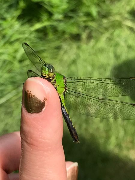 Dragonfly, green, majestic, winged friend, Summer bug