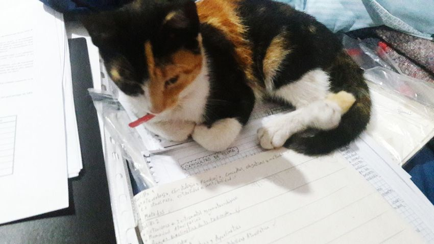 Mimi, gatita calico 6 Calico Calico Cat Beauty In Nature Gato Tricolor Calico Cats Are Special Beautiful Pets Dog Domestic Cat Close-up Feline Beagle Pet Bed Cat Carnivora Stray Animal Yellow Eyes Ginger Cat