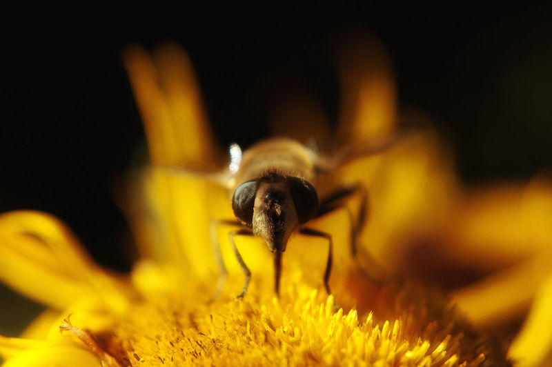 Macro Shot Of Honey Bee Pollinating On Yellow Flower