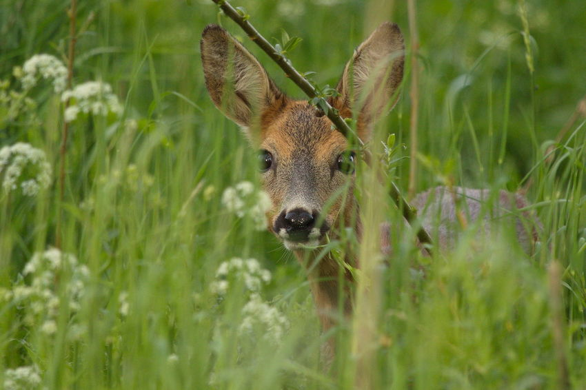 Animal Animal Head  Animal Themes Beauty In Nature Close-up Grass Green Color Hiding Mammal Nature Portrait Reegeit Roe Deer Wildlife & Nature Wildlife Photography