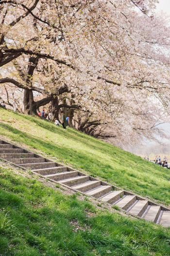 Kyoto, JAPAN - April 3, 2018: People enjoy seeing beautiful blooming cherry blossom at Yawatashi. Plant Grass Tree Nature Day Growth Beauty In Nature Springtime Flower Blossom Scenics - Nature Freshness Cherry Blossom Land No People Rail Transportation Travel Cherry Tree Travel Destinations Transportation Outdoors Track Park Sakura