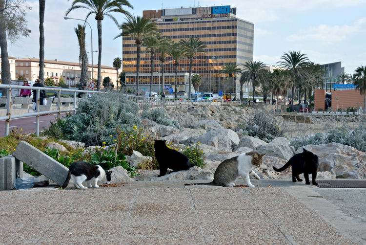 four wild cats eating in a street of Palma de Mallorca Mammal Animal Animal Themes Pets Outdoors Domestic Animals Group Of Animals Street Four Cats Cats Palma De Mallorca Nature Day Building Exterior Vertebrate Tree Plant City Architecture Eating Food Animal In The Wild Street Photography