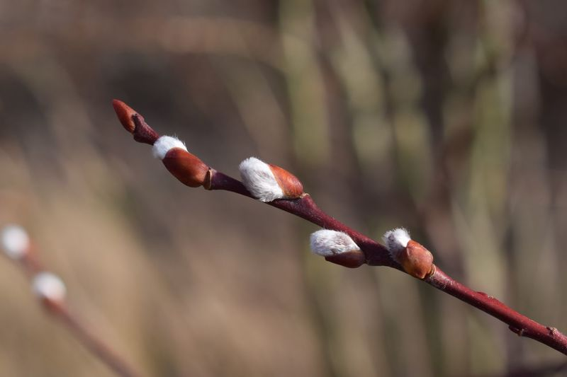 Close-up of red flower buds on branch