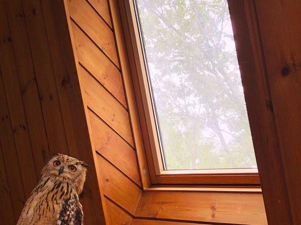 溶け合う 幸せ Rock Eagle Owl Owl ベンガルワシミミズク フクロウ 静寂 猛禽類 モデル 光 やさしい 幸福 やわらかい 芸術 神秘 特別 天窓 緑 自然 One Animal Animal Window Day Tree Bird Nature Animals In The Wild Animal Wildlife No People