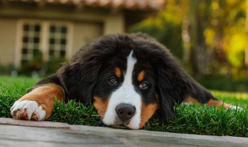 Bernese Mountain Dog puppy Animal Animal Head  Animal Themes Bernese Bernese Mountain Dog Canine Close-up Cute Day Dog Dog Photography Domestic Animals Lying Down Mountain Dog No People One Animal Outdoors Pets Portrait Puppy Relaxation Resting Young Animal