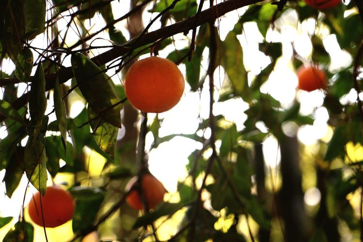 Tree Fruit Branch Growth Leaf Outdoors Nature Day No People Beauty In Nature Freshness Orange Tree Orange Oranges Canon Canonphotography Canon 70d Beauty Photography Scenics