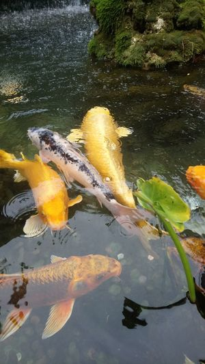 Matlock Bath Derbyshire Uk Fish Swimming Carp Beauty In Nature Travel Destinations Taking Photos My Adventures High Angle View Nature Close-up