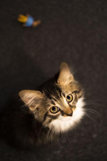 Portrait of tabby cat against black background