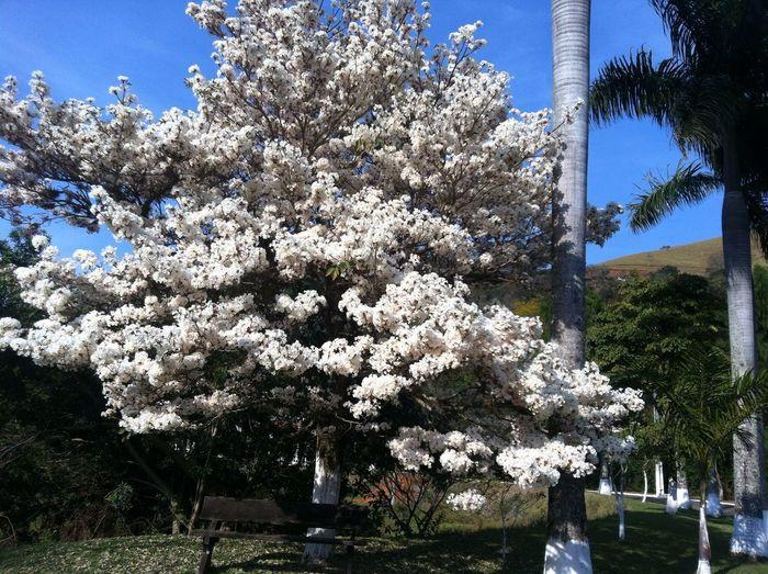 Florada do Ipê