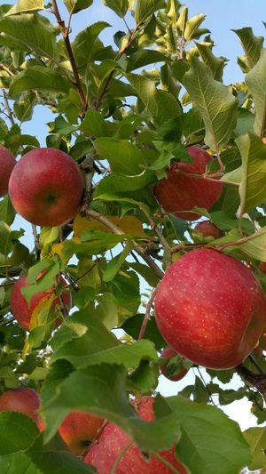 長野は紅葉もリンゴも美しかったです。 りんご Apples Blue Sky 食欲の秋 ドライブ Drive 長野県