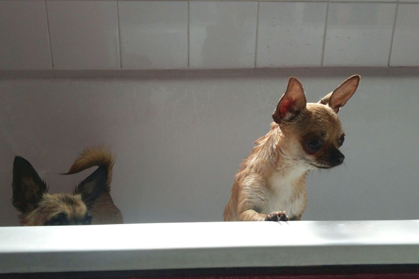 Two Is Better Than One Two Dogs Chihuahua Landscape Dog In Bath Cute Dog Chihuahua Cute Pets Cute Dogs Cute Animal Themes Canine Wet Dogs Wet Bath Bathtime Bath Time EyeEm Dogs Little Dogs Small Dogs  Chihuahuamix Chihuahuas Dogs White Background Pampered Pets The EyeEm Collection