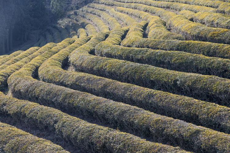 Green Tea Field On Sunny Day