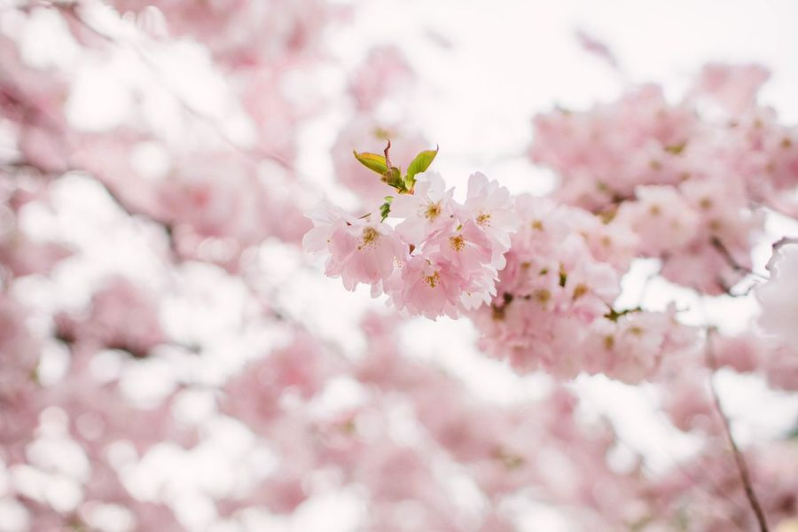 Summertime Summer Spring Springtime Flower Flowering Plant Fragility Plant Freshness Beauty In Nature Vulnerability  Pink Color Blossom Springtime Cherry Blossom Close-up Growth Nature No People Petal Tree Cherry Tree Flower Head Branch
