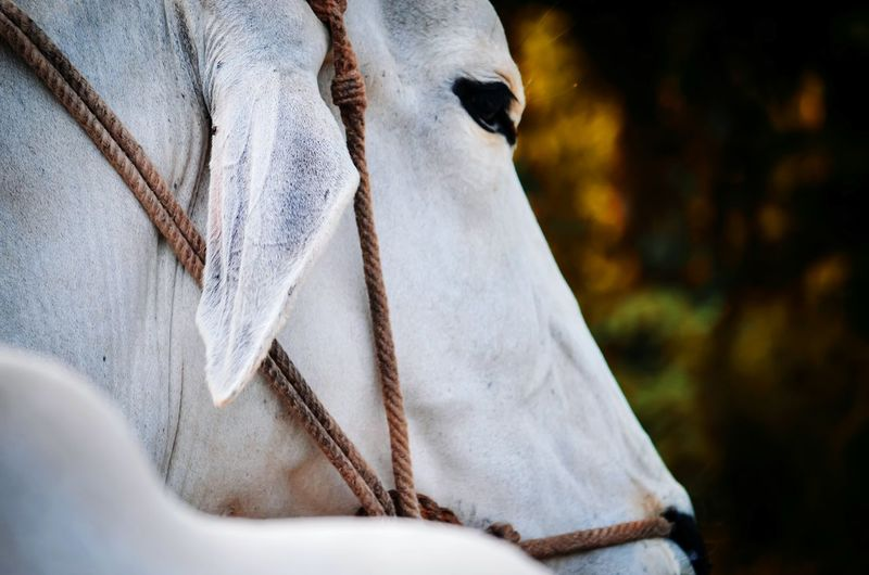 Close-up of white horse
