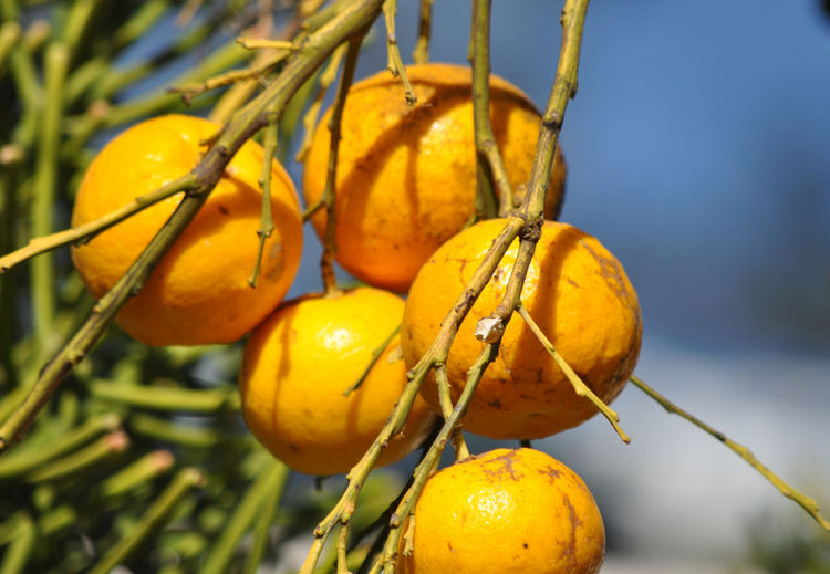 Close-up of oranges on branch
