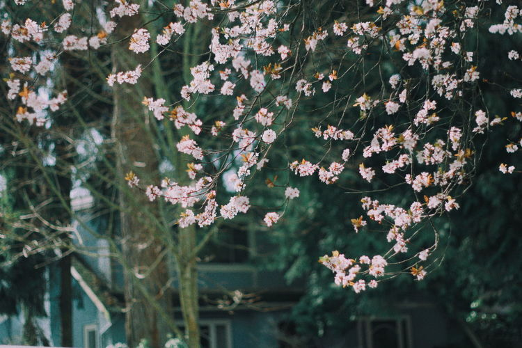 Vancouver Springtime Spring Sakura Plant Growth Flowering Plant Beauty In Nature Fragility Vulnerability  Flower Freshness Nature No People Day Close-up Focus On Foreground Outdoors Petal Flower Head Selective Focus Plant Part Tree Inflorescence