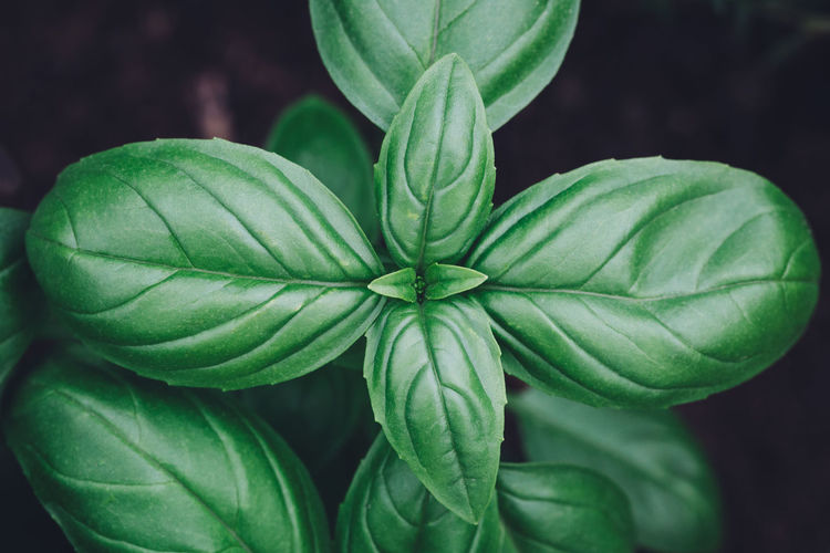 Basil plant close up Basil Beauty In Nature Close-up Day Directly Above Focus On Foreground Food Food And Drink Freshness Green Color Growth High Angle View Leaf Nature Outdoors Plant Plant Part Vulnerability