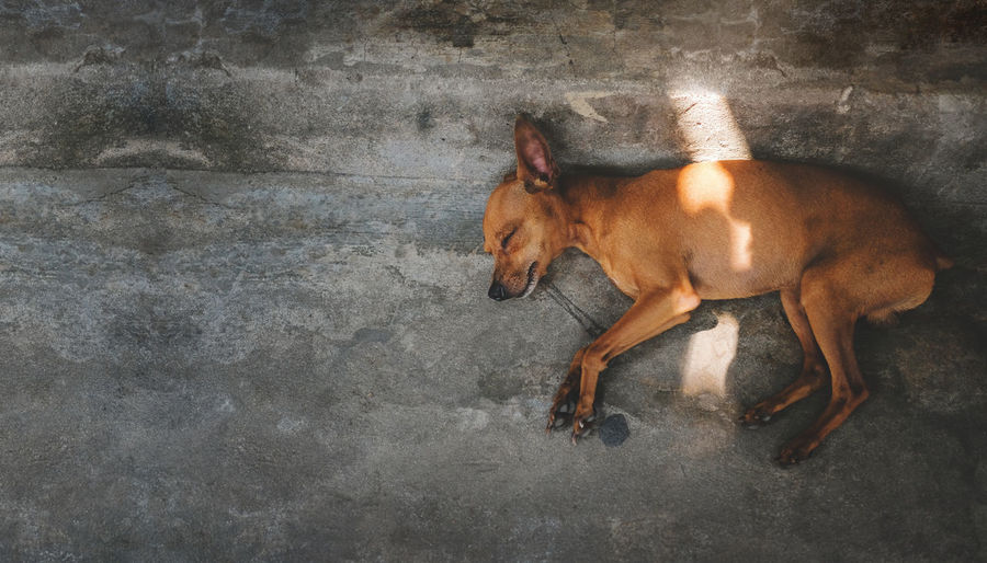 Brown Puppy Dog Sleeping on the Floor, Outside the house. Top View Mammal One Animal Domestic Animals Pets Domestic Vertebrate Dog No People Canine Brown Full Length Wall - Building Feature Day Side View Animal Wildlife High Angle View Standing Laying Floor Starecase Sleeping Top View Aerial View Above Puppy