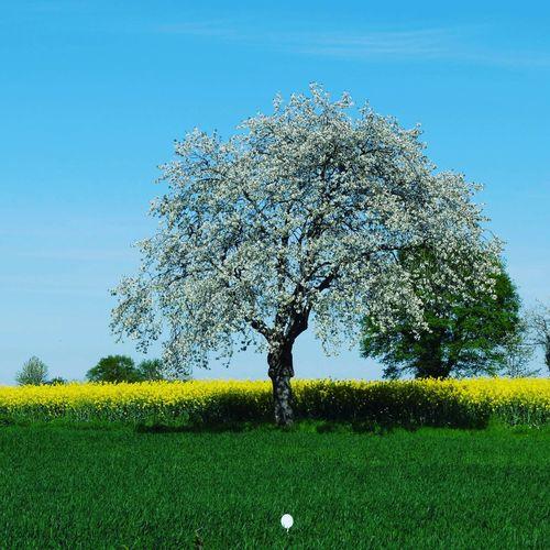 Cherry blossom tree in field