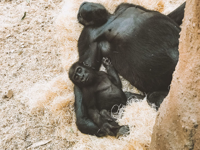 High angle view of gorillas sleeping on grass at zoo