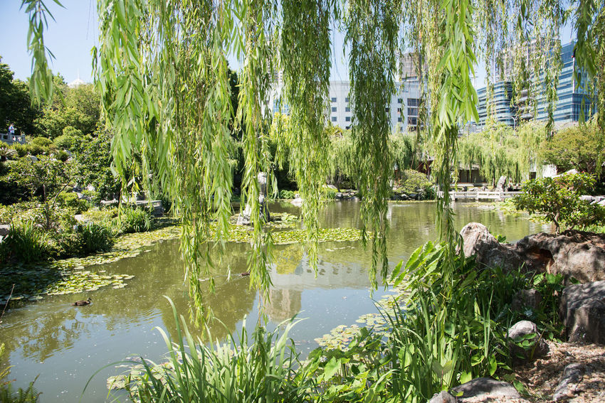 Sydney,NSW,Australia-November 18,2016: View through weeping willow tree of the Chinese of Garden Friendship lotus pond in Sydney, Australia Australia Branches Building Chinese Garden Chinese Garden Of Friendship Cultivated Formal Garden Greenery Growth Idyllic Leaves Lotus Lush Foliage Ornamental Garden Outdoors Peaceful Pond Scenics Sydney Tendrils Tourist Attraction  Tree Water Weeping Willow Willow Tree