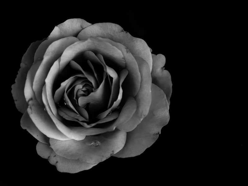 Monochrome Black & White Flowerporn EyeEm Best Shots - Black + White EyeEm Masterclass EyeEm Nature Lover Light And Shadow Simple Photography From My Point Of View Flower Collection Beautiful Nature Olympus Macro Drops Macro Beauty Your Design Story Showcase May EyeEm Best Shots - Flowers Rose🌹