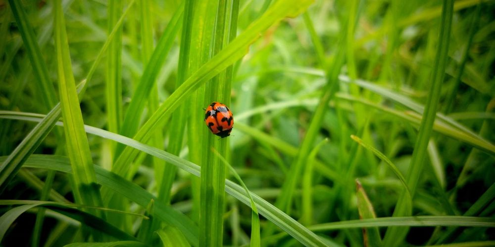 standing out...😊 EyeEmNewHere Eyeem Philippines PhonePhotography Vivo Macro Macro Photography Insect Photography EyeEm Nature Lover Ladybug Red Insect Animal Themes Close-up Grass Plant Green Color Blade Of Grass Bug 10