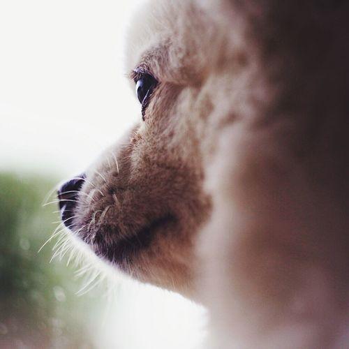 Close-Up Of Pomeranian Looking Away