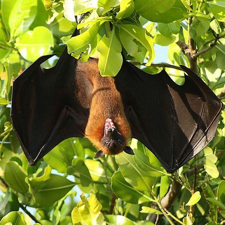 Flyingfox Animal Animal_collection Leaves Angry