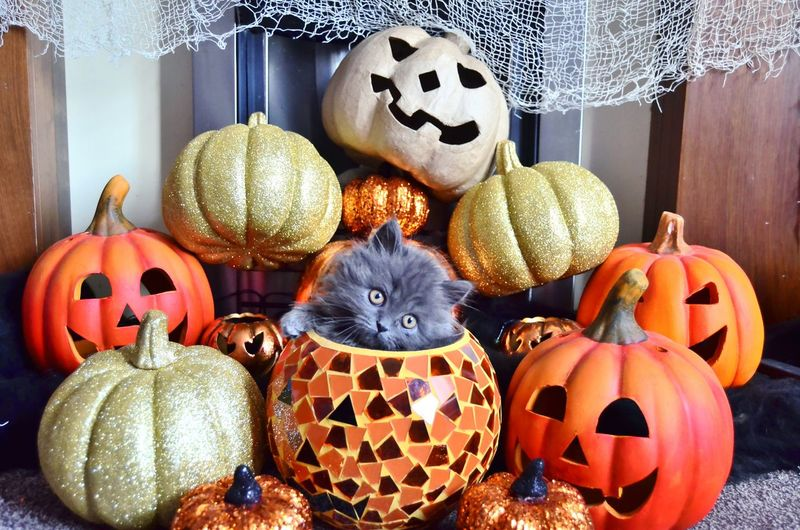 Close-up of cat and halloween decorations