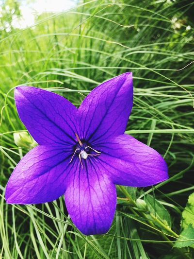 Unendlichkeit Schönheit Ruhm Blume Lila Plant Flowering Plant Flower Growth Beauty In Nature Vulnerability  Fragility