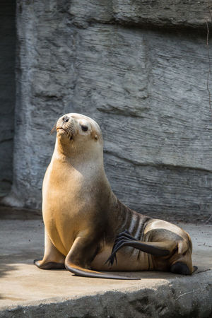 South American sea lion Animal Animal Themes Animal Wildlife Animals Sea Life Aquarium Sea Lion Sea Lions South American Sea Lion Wildlife Wildlife & Nature Wildlife Photography Zoo Zoo Animals  Zooanimals ZooLife Zoology Zoophotography