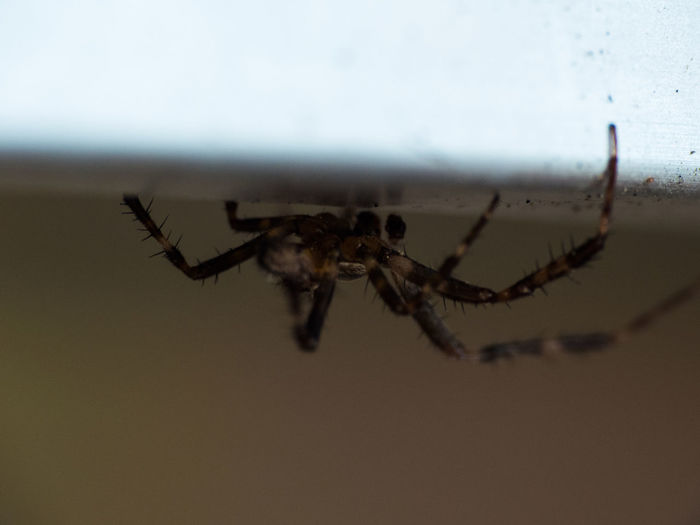 Spider No People Indoors  Close-up Nature Spinne Arachnid Photography