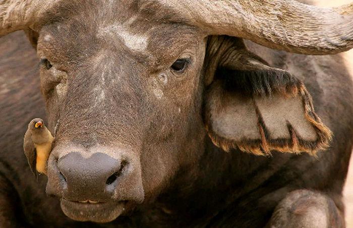 The lone wolf... Well Buffalo. Zambia, Africa EyeEmNewHere