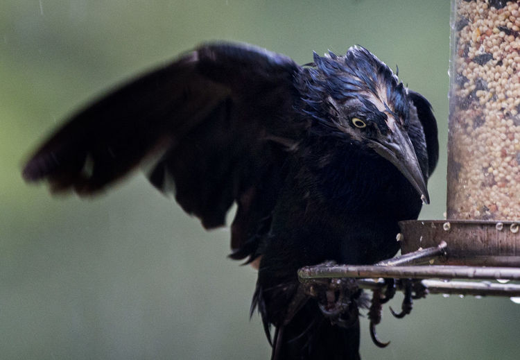 Close-Up Of Wet Black Bird Perching On Feeder