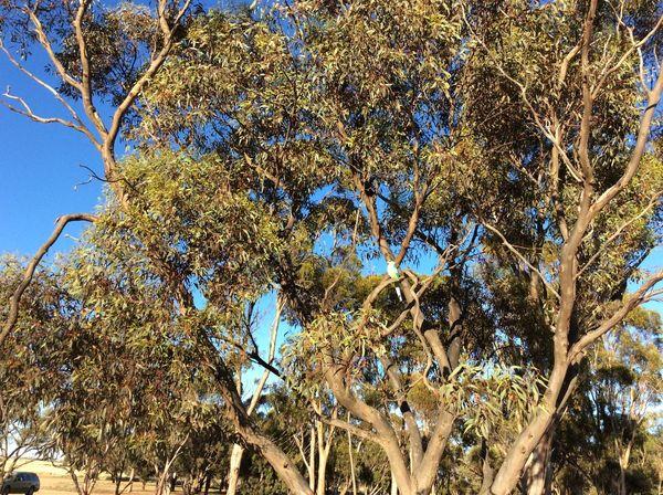 7:30am, 17 January 2017, South Australia. Birds Blue Sky Day Gum Trees Nature No People Outdoors