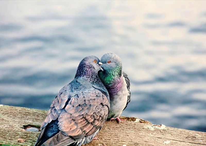 Love Birds Animal Themes Bird Animals In The Wild One Animal Wildlife Vertebrate Focus On Foreground Beak Close-up Zoology Full Length Animal Head  Nature Perching Day Kiss Love Love ♥ Outdoors No People Tranquility