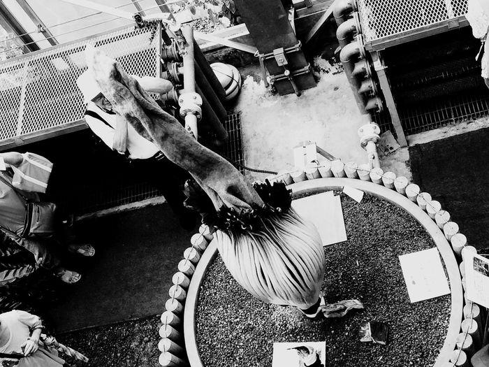 ショクダイオオコンニャクの花:普通のコンニャクの花は見たことあるけど、オオコンニャクなだけあって大きい! ショクダイオオコンニャク