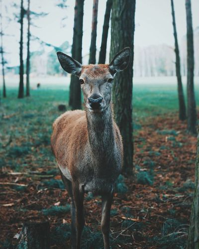 Be. Ready. Animal Wildlife Animal Animals In The Wild One Animal Portrait Nature Standing Antler Outdoors Animal Themes Looking At Camera Tree Grass Mammal Forest No People Day Eyemphotography EyeEmBestPics Capture The Moment Beauty In Nature Nature Animals In The Wild Perspectives On Nature