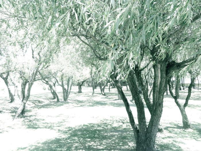 Arboles Arboles , Naturaleza Colors Of Nature Green Color Leaves Tree_collection  Trees Udlap
