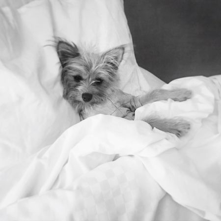 Yorkie Yorkshire Terrier Pomerainan Yoranian Dog Puppy Westin Heavenly Bed Blackandwhite Bed Duvet Pet Chilling