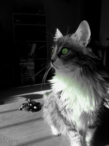 Cat Eyes Blackandwhite Animals Pets Black And White My Cat TheMinimals (less Edit Juxt Photography) Shootermag Kyra Bw_collection