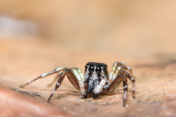 Macro background spider on the plant Animal Themes Animal Wildlife Animals In The Wild Close-up Day Jumping Spider Nature No People One Animal Outdoors Spider